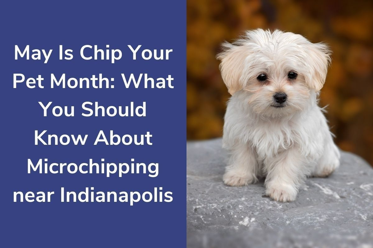 May-Is-Chip-Your-Pet-Month-What-You-Should-Know-About-Microchipping-near-Indianapolis