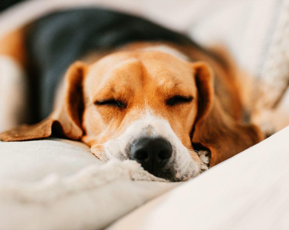 beagle dog sleeping on the sofa at home